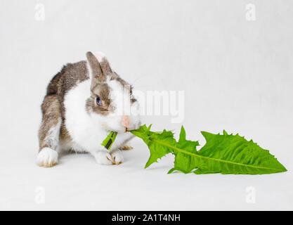 Lapin nain gris et blanc aux yeux bleus manger vert feuille de pissenlit séveux sur fond blanc