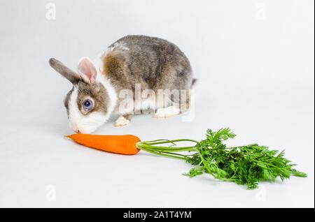 L'alimentation du lapin nain carotte orange sur fond clair Banque D'Images