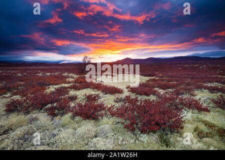 Couleurs d'automne et de soleil colorés à Fokstumyra réserve naturelle, Dovre, la Norvège. Les arbustes d'orange au premier plan est le bouleau glanduleux, Betula nana. Banque D'Images
