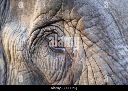 De près de l'œil brun et épais cils d'un groupe de travail de l'éléphant indien dans une scène de rue à Kaziranga, Golaghat District, Bochagaon, Assam, Inde Banque D'Images