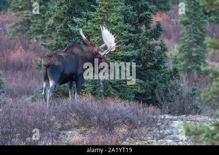 Bull Moose dans le Parc National Denali
