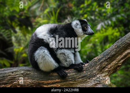White-belted noir et blanc de la gélinotte lemur (Le Varecia variegata ssp. subcincta) endémique à Madagascar Banque D'Images