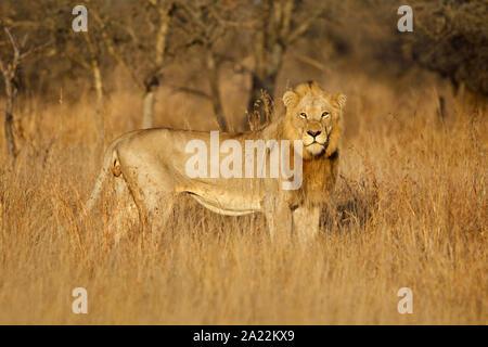 Grand mâle African lion (Panthera leo) dans l'habitat naturel, Kruger National Park, Afrique du Sud