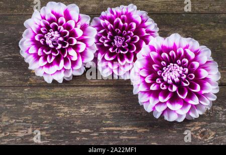 Studio shot of Dahlia fleur contre un arrière-plan en bois foncé - John Gollop Banque D'Images
