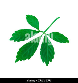 Miracle de l'herbe ou des feuilles de Jiaogulan ou le sud du ginseng ou Gynostemma pentaphyllum ou cinq feuilles du ginseng ou herbe de l'Immortalité isolated on White Banque D'Images