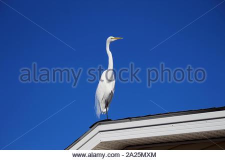 Grande Aigrette perchée sur le toit d'une maison, sur le bord de la côte est de la Floride Banque D'Images