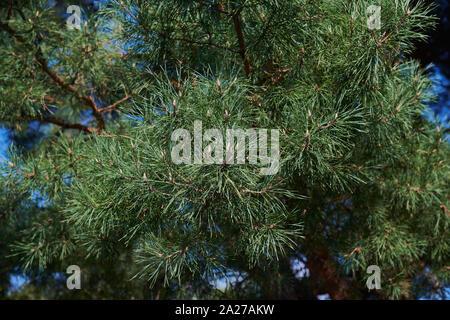 Une branche d'un jeune pin vert avec de petits cônes. Un conifère arrière-plan. Des aiguilles. Branches de conifères aux beaux jours.