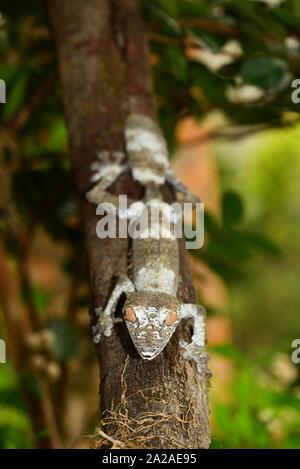 Gecko à queue de feuille moussus (Uroplatus sikorae) sur un arbre. Le Parc National Andasibe, Madagascar Banque D'Images