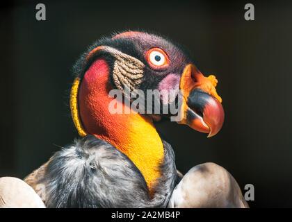 Tête de vautour roi close-up Banque D'Images