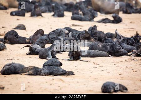 Les bébés phoques à fourrure d'Afrique du Sud au milieu de leur colonie à Cape Cross Seal Reserve, Namibie, Afrique Banque D'Images