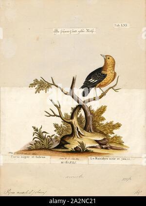Pipra aureola, Imprimer, le manakin à capuchon (Pipra aureola) est une espèce de passereau de la famille Pipridae. Il est constaté au Brésil, Guyane Française, Guyana, Suriname et Venezuela. Habitat Son habitat naturel est les zones tropicales ou subtropicales et les marécages sont fortement dégradées ancienne forêt. Elle est la plus septentrionale du genre Pipra. Il forme une super-espèce avec le Manakin à queue barrée (Pipra fasciicauda) et The Wire-tailed Manakin (PIPRA) filicauda., 1700-1880 Banque D'Images
