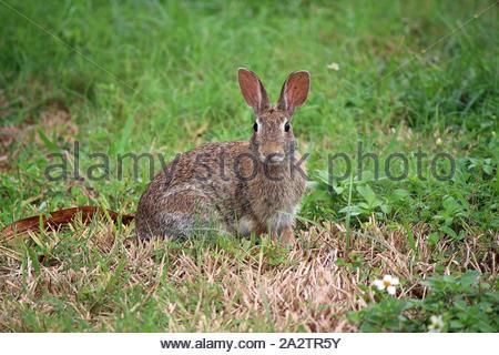 Lapin à queue de cotonnière de l'est (Sylvilagus floridanus) lapin à queue de cotonnière de l'est Sylvilagus floridanus, Tampa, région de la Floride