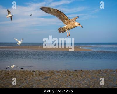 Seagull goéland argenté s'approchant de la glace