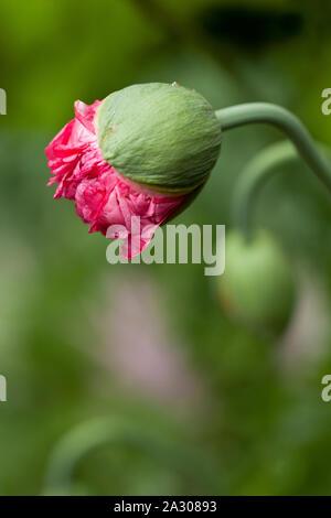Une fleur de pavot rose qui fleurit à partir de son bud dans un jardin Banque D'Images