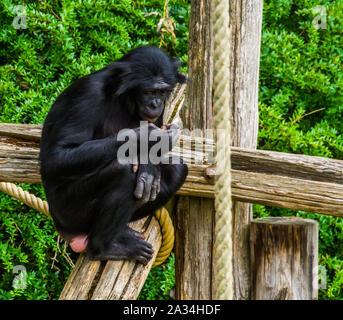 Les bonobos à à sa main en gros plan, les droits de l'ape, chimpanzé pygmée, en voie de disparition Espèce animale d'Afrique Banque D'Images