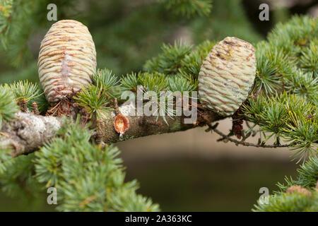 Les jeunes, vert, des pommes de pin sur un arbre avec SAP s'égouttant de bud.