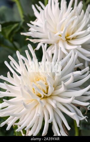 Close up de Playa Blanca un cactus dahlia blanc une plante tubéreuse qui est la moitié de feuillus et hardy Banque D'Images