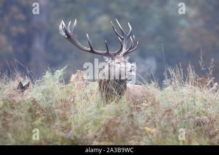 Richmond Park, Londres, UK. Oct 7, 2019. Red Deer (Cervus elaphus) bolving à l'assemblée annuelle de l'ornière aujourd'hui à Richmond Park, Londres, UK. Credit: Ed Brown/Alamy Live News Banque D'Images