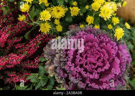 Purple chou ornemental à côté de chrysanthèmes jaunes et fleurs. Erica bourgogne Automne fond. Banque D'Images