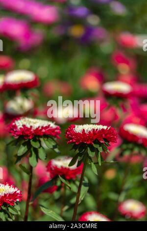 Fleurs D Automne De La Vivace Fleurissant Cuphea