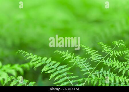 Fond vert fougère, une texture de la feuille de fougère Banque D'Images