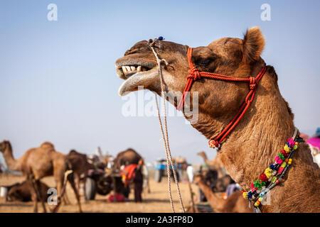 Des chameaux à Pushkar Mela juste chameau au Rajasthan Banque D'Images