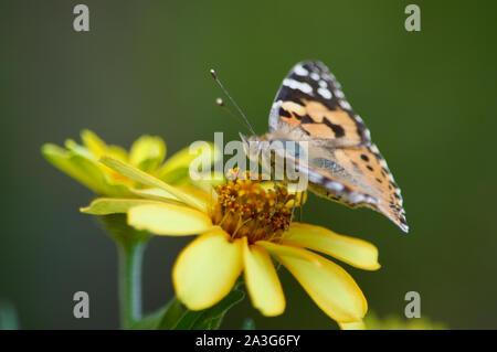 Un papillon belle dame buvant nectar d'une fleur