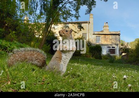 L'écureuil gris (Sciurus carolinensis) mâle debout sur un jardin pelouse, Wiltshire, Royaume-Uni, mai. Banque D'Images