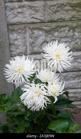 Groupe de Playa Blanca Fleur de cactus dahlia blanc est à la tête d'une plante tubéreuse qui est la moitié de feuillus et hardy Banque D'Images