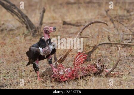 Vautour pape se nourrissant de deer carcas, Ranthambhore National Park, Rajasthan, Inde Banque D'Images