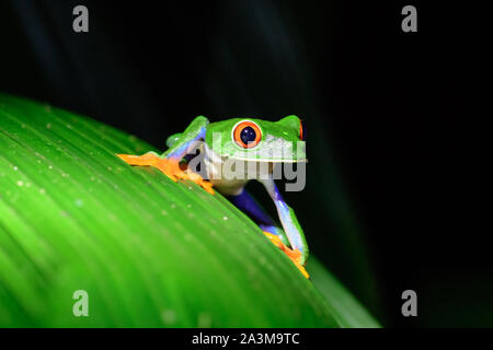Red eyed tree frog sur une plante