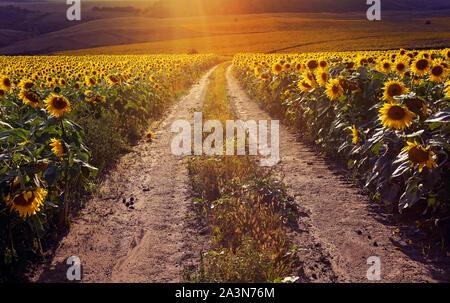 Route qui traverse tournesols jaunes avec des couleurs d'automne et la lumière tôt le matin brumeux. Paysage d'été avec un champ de tournesols, une route de terre. Banque D'Images