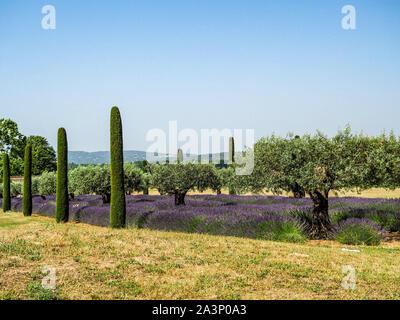 Belle floraison lavande le long de la route bordée de cyprès Italien Banque D'Images