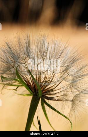Un beau blanc pissenlit prêt à répandre ses graines, sur un fond couleur sable chaud Banque D'Images