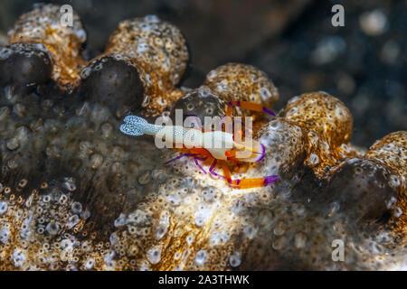 Periclimenes imperator, connu sous le nom de l'empereur, la crevette est un organisme de crevettes avec une large distribution à travers l'Indo-Pacifique