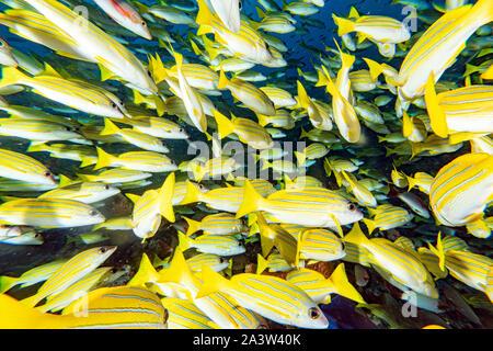 L'école de plongée jaune Snapper Lutjanidae tout en Maldives Banque D'Images
