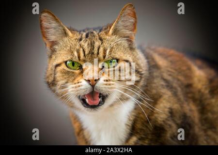 Chambre cat, Felis silvestris catus