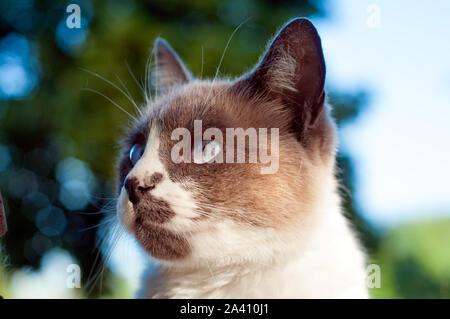 Belle seal point close up cat's face. Ciel bleu dans le fond Banque D'Images