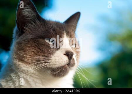 Belle grognon seal point close up cat's face. ciel bleu en arrière-plan Banque D'Images