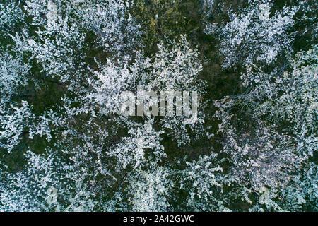 Vue aérienne de la floraison des cerisiers au soir. Voler au-dessus de verger. Contexte d'arbres à fleurs blanches vu de dessus.