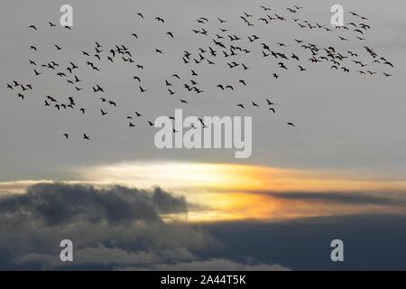 """Southport, Merseyside. Météo britannique. 12 octobre, 2019. Early morning rain suivie par grandir dans des conditions de recours. à la côte car on estime que 48 800 oiseaux migrants montée à l'aube de la Ribble Marsh RSPB. Signal Pinkies l'arrivée de l'hiver sur la côte de Sefton comme d'énormes troupeaux de bernaches pied rose migrants arrivent de pays aux climats nordiques à l'hiver en Angleterre. Des milliers de """"Pinkies"""" passent les mois d'hiver, le pâturage et d'alimentation sur le West Lancashire travail au cours de la journée et se percher sur les prairies de l'estuaire. Près de 280 000, 80% de la population mondiale l'hiver au Royaume-Uni. Credit: MediaWorldIm Banque D'Images"""