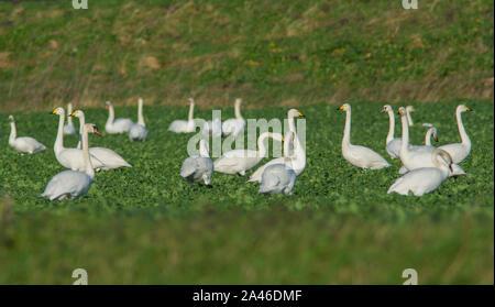 Bande de cygne muet, le cygne de Bewick et cygnes chanteurs dans un champ arable en hiver.