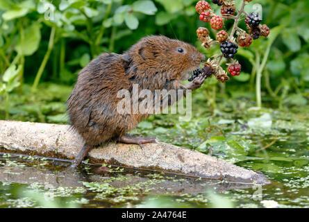 Le campagnol de l'eau européenne ou le campagnol d'eau du Nord, Arvicola amphibius