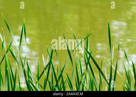 Une nature fond vert de roseaux ou de brins d'herbe contre un fond de l'eau vert with copy space Banque D'Images