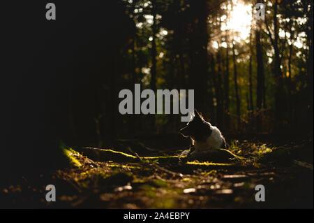 Portrait de Border Collie. Chien couché dans la forêt en contre-jour. Photo de contraste élevé. Banque D'Images