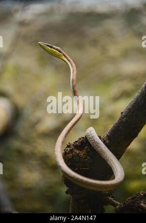 La serpent de vigne (oxybelis brevirostris), l'Équateur