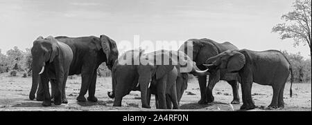 Petit groupe d'éléphants à un étang dans le Parc National de Chobe au Botswana Banque D'Images