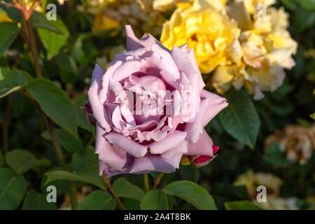 Chef d'une fleur rose pourpre close up sur un arrière-plan flou de roses jaunes