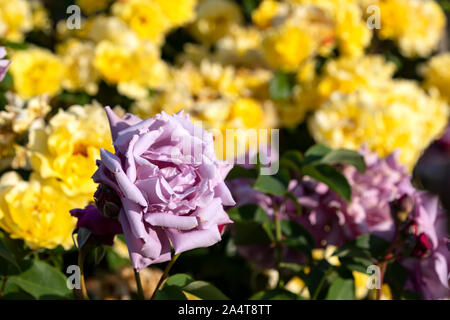Chef d'une fleur rose pourpre gros plan sur un arrière-plan flou de roses jaunes