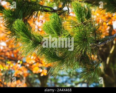 La direction générale de pin sur une journée ensoleillée vers le haut et un arbre avec des feuilles d'oranger en arrière-plan flou.